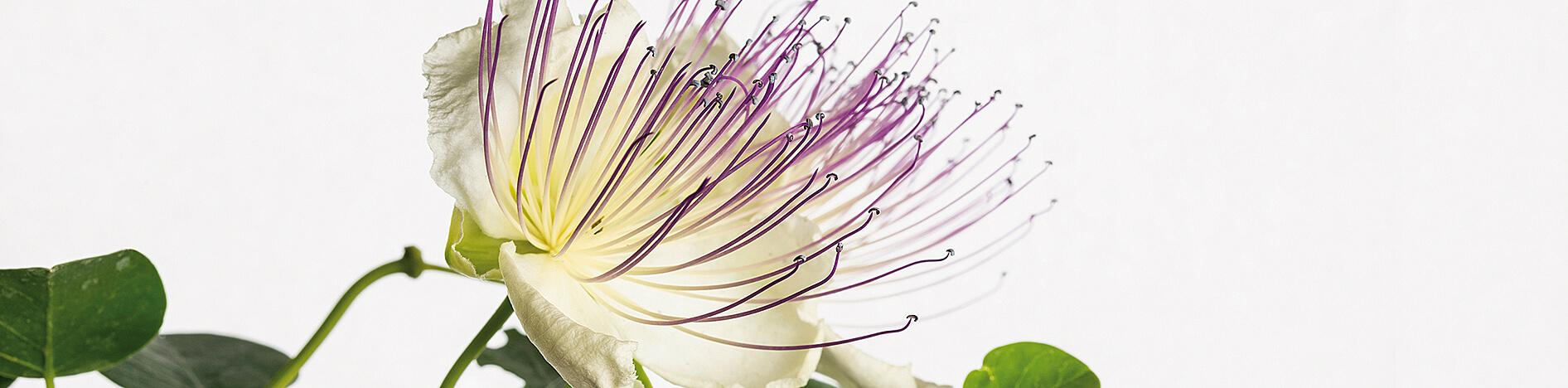 Estratti piante e fiori per il benessere del corpo ! Arcangea.it
